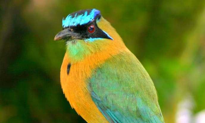 5-blue-crowned-motmot1